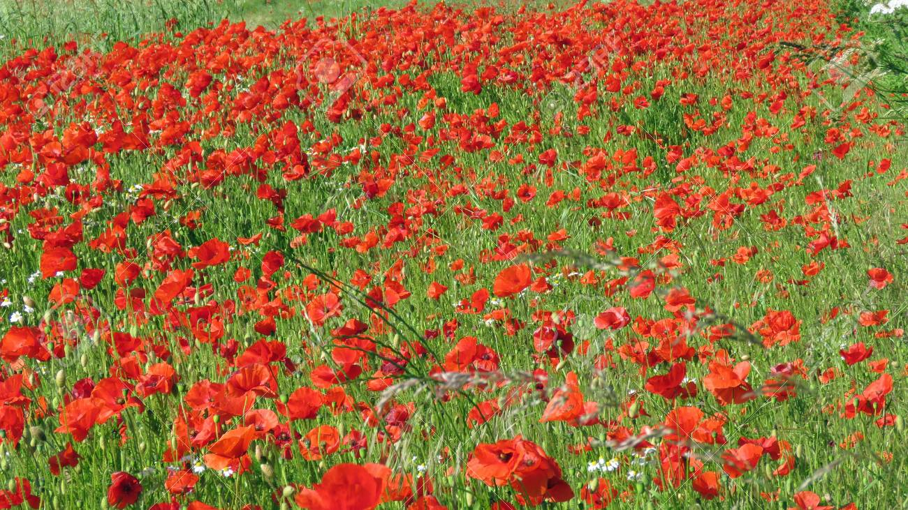 A meadow full of poppies and grasses in rural English countryside Standard-Bild - 81777582