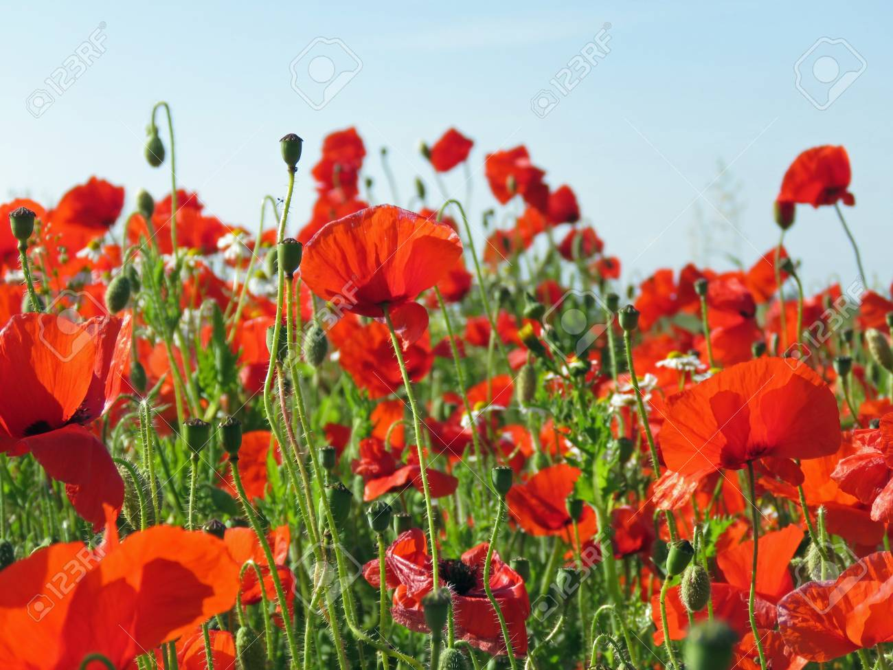 A meadow full of poppies and grasses in rural English countryside Standard-Bild - 81835533