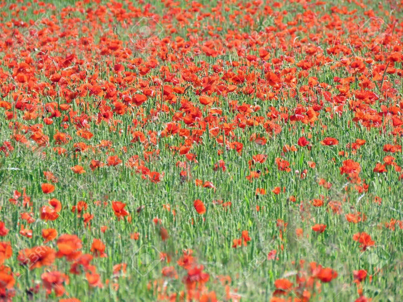A meadow full of poppies and grasses in rural English countryside Standard-Bild - 81777585