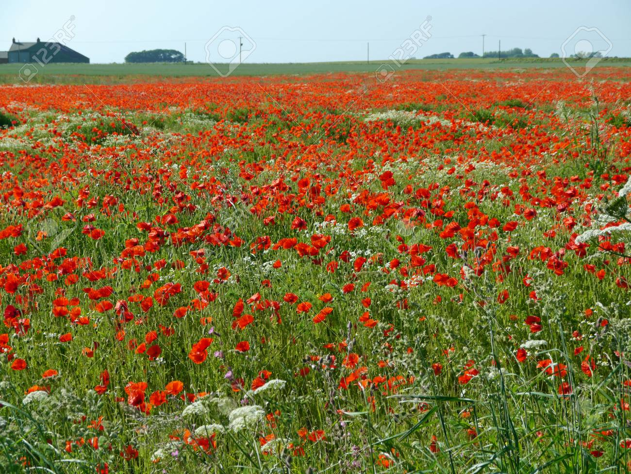 A meadow full of poppies and grasses in rural English countryside Standard-Bild - 81835535