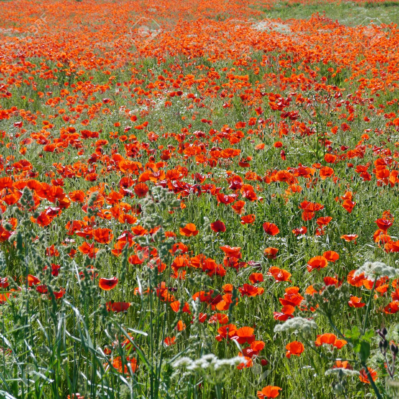 A meadow full of poppies and grasses in rural English countryside Standard-Bild - 81788065
