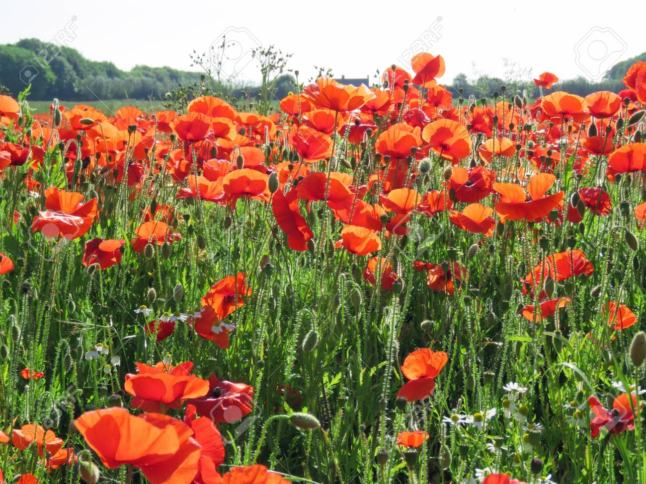 A meadow full of poppies and grasses in rural English countryside Standard-Bild - 81777939