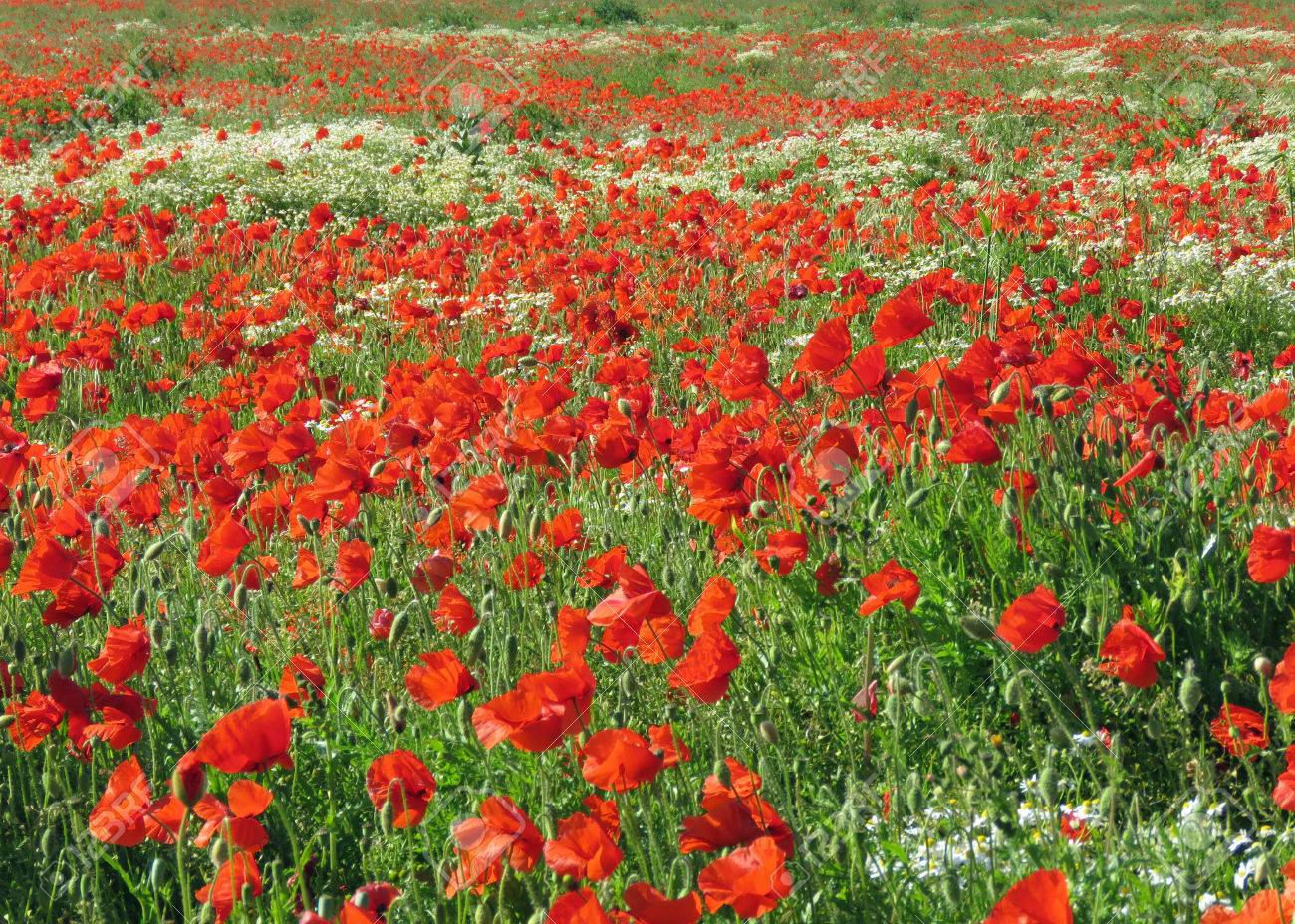 A meadow full of poppies and grasses in rural English countryside Standard-Bild - 81777938