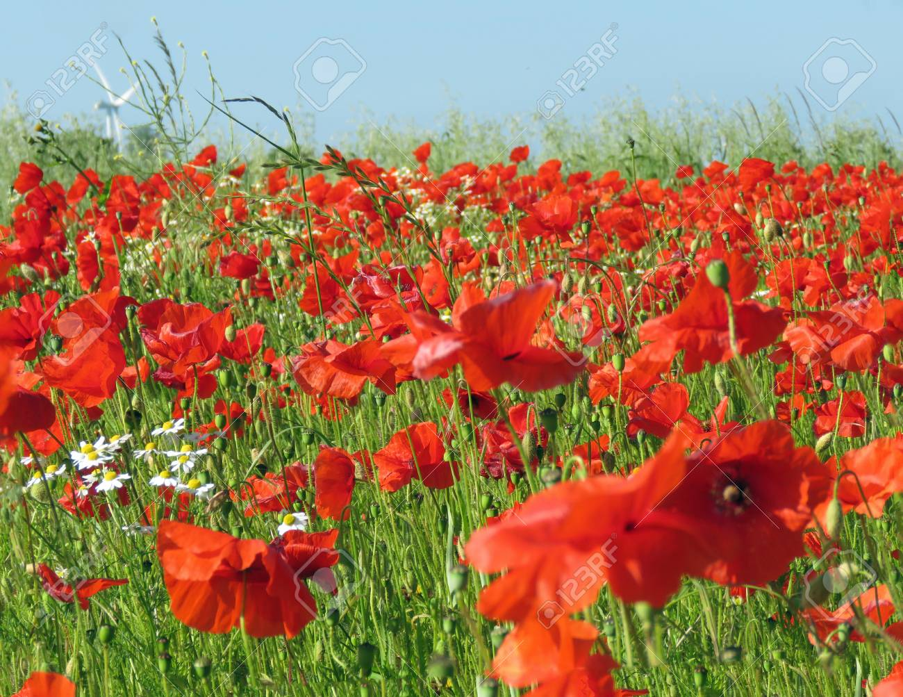 A meadow full of poppies and grasses in rural English countryside Standard-Bild - 81912968