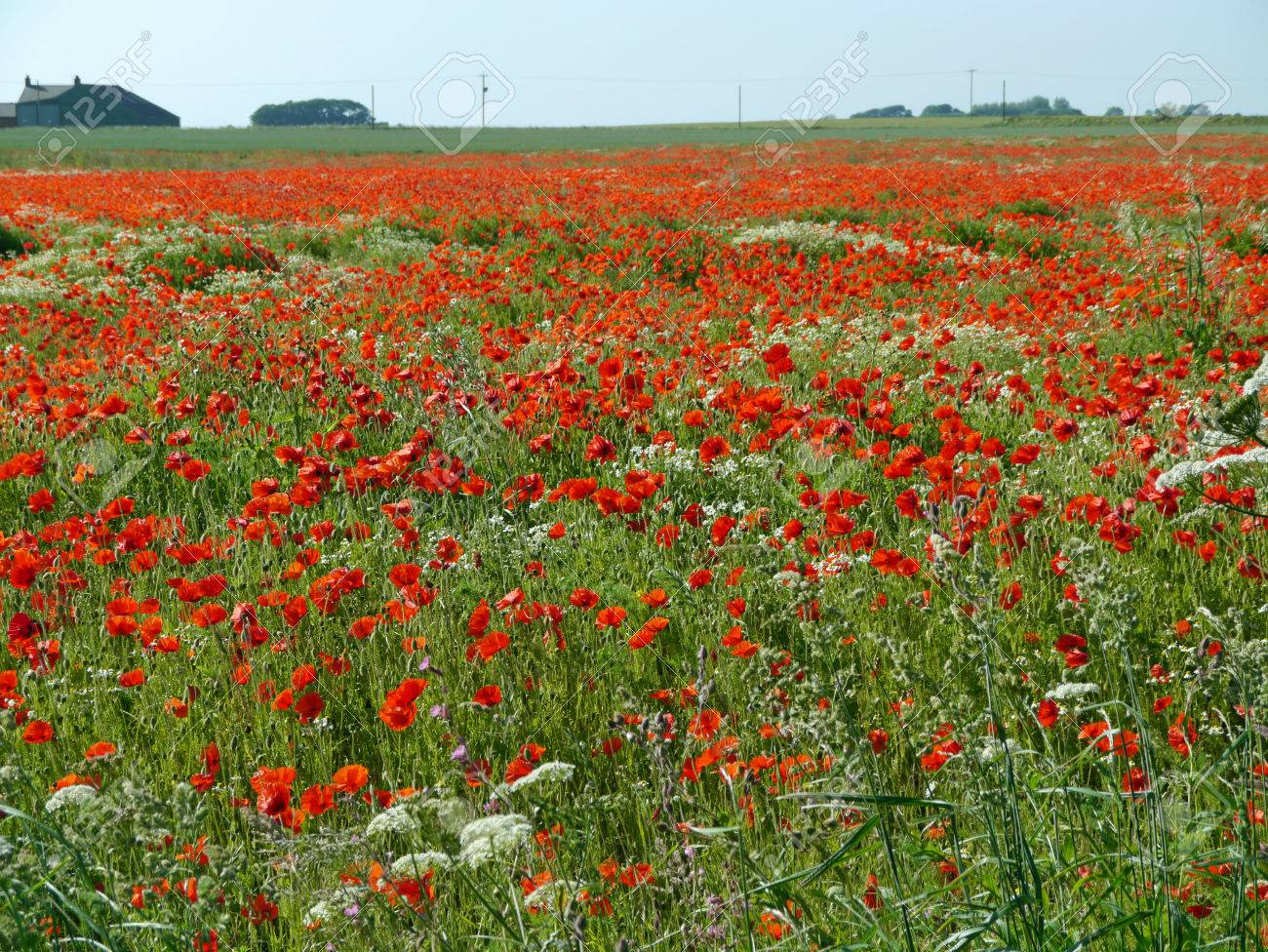 A meadow full of poppies and grasses in rural English countryside Standard-Bild - 81912960