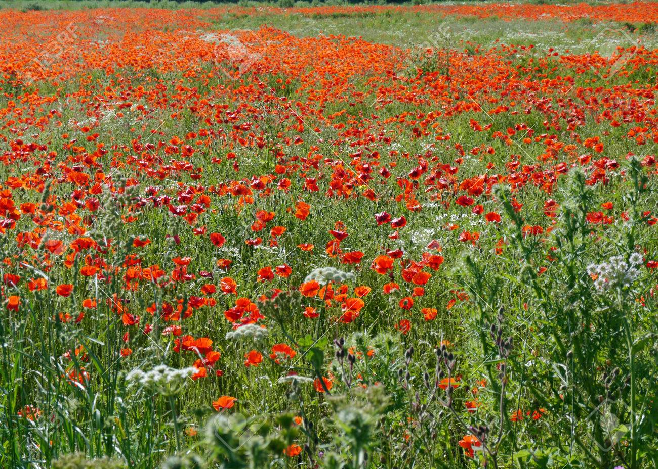 A meadow full of poppies and grasses in rural English countryside Standard-Bild - 81777942