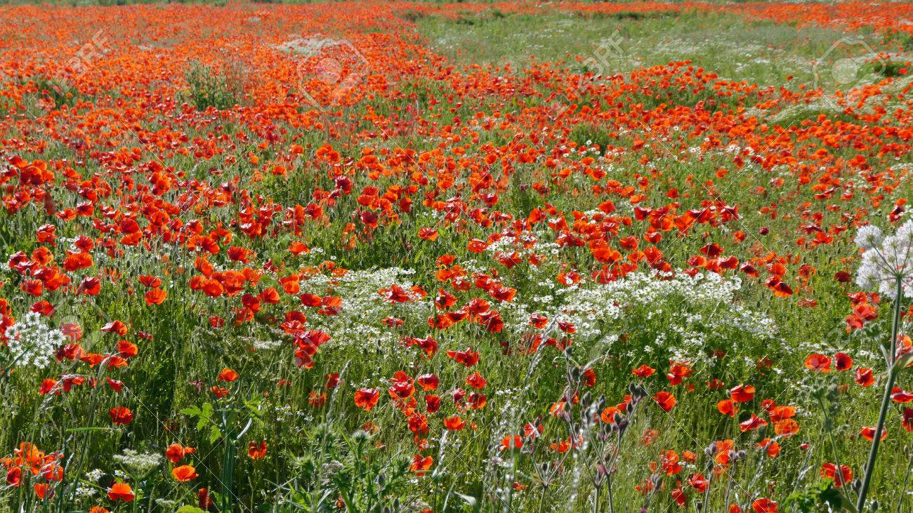 A meadow full of poppies and grasses in rural English countryside Standard-Bild - 81777943