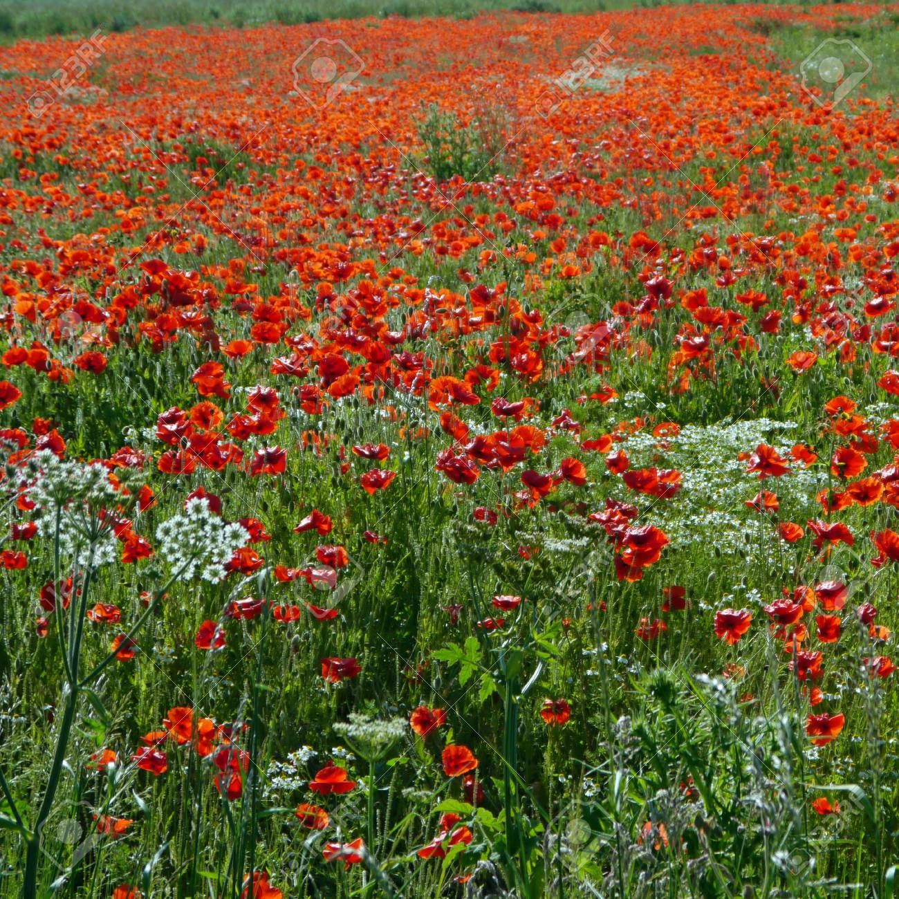 A meadow full of poppies and grasses in rural English countryside Standard-Bild - 81777945