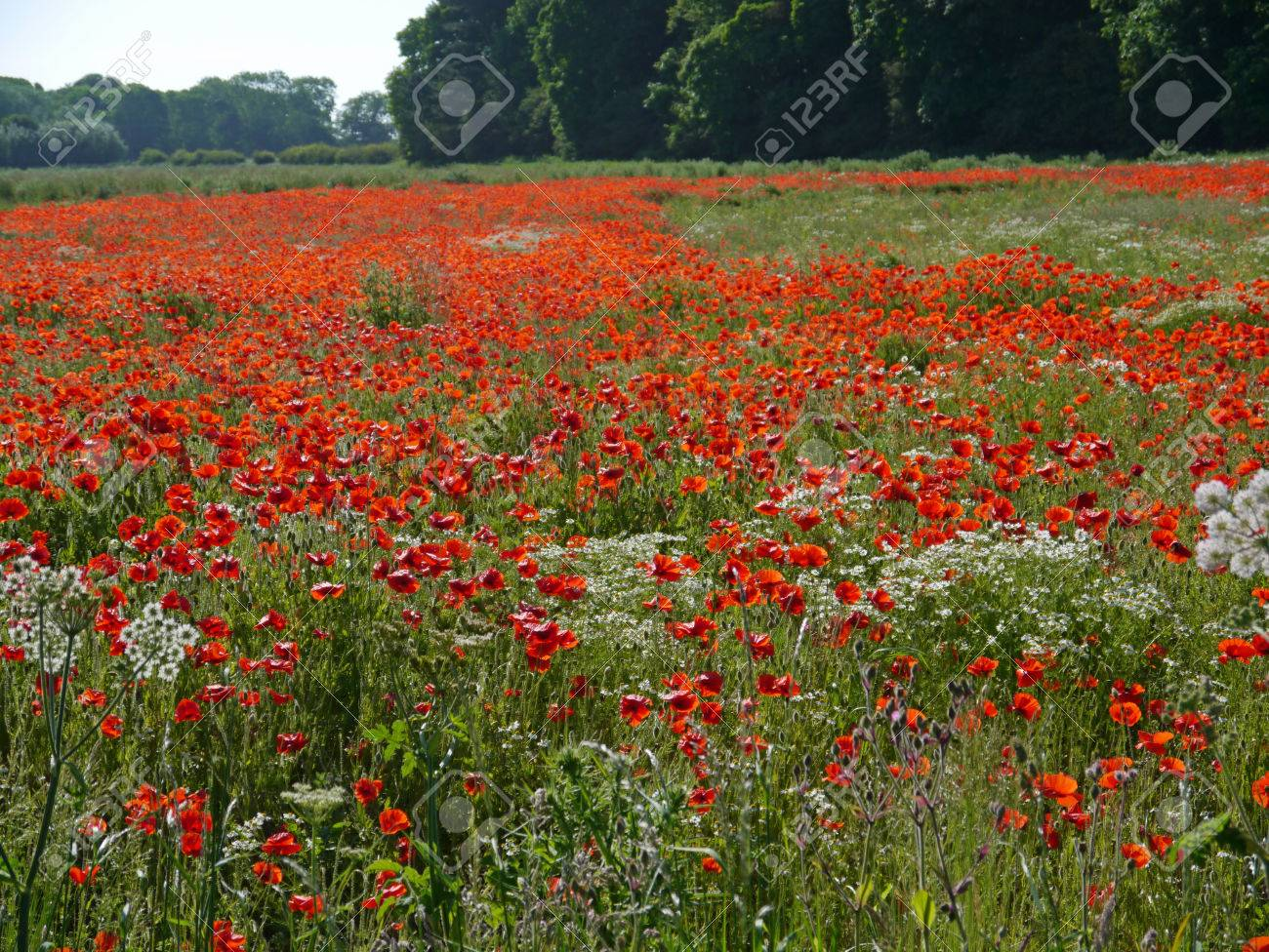 A meadow full of poppies and grasses in rural English countryside Standard-Bild - 81912967