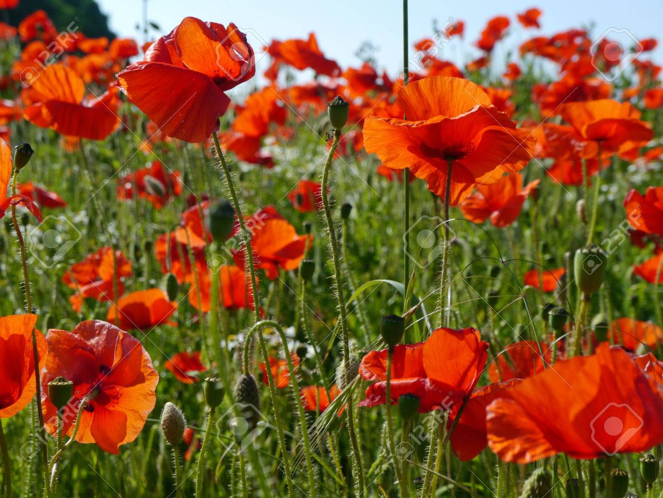 A meadow full of poppies and grasses in rural English countryside Standard-Bild - 82552567