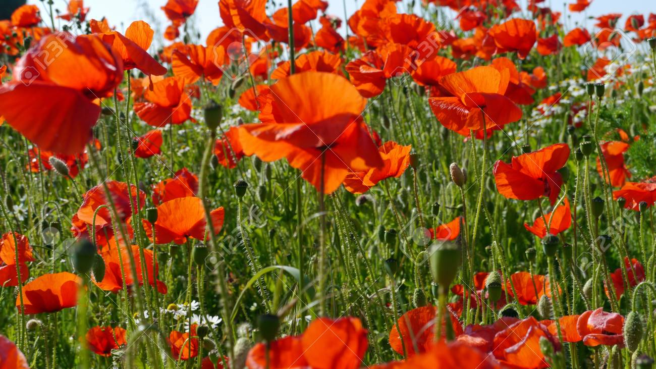A meadow full of poppies and grasses in rural English countryside Standard-Bild - 81777944