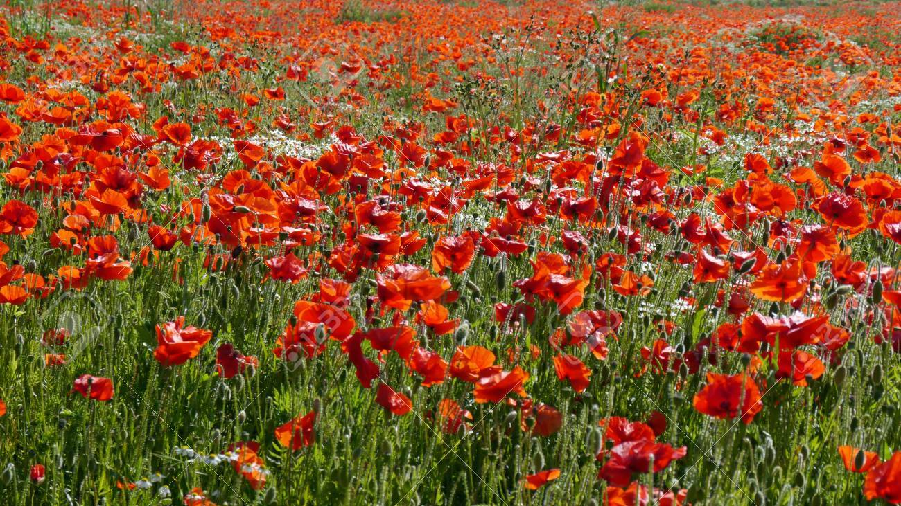 A meadow full of poppies and grasses in rural English countryside Standard-Bild - 81912961
