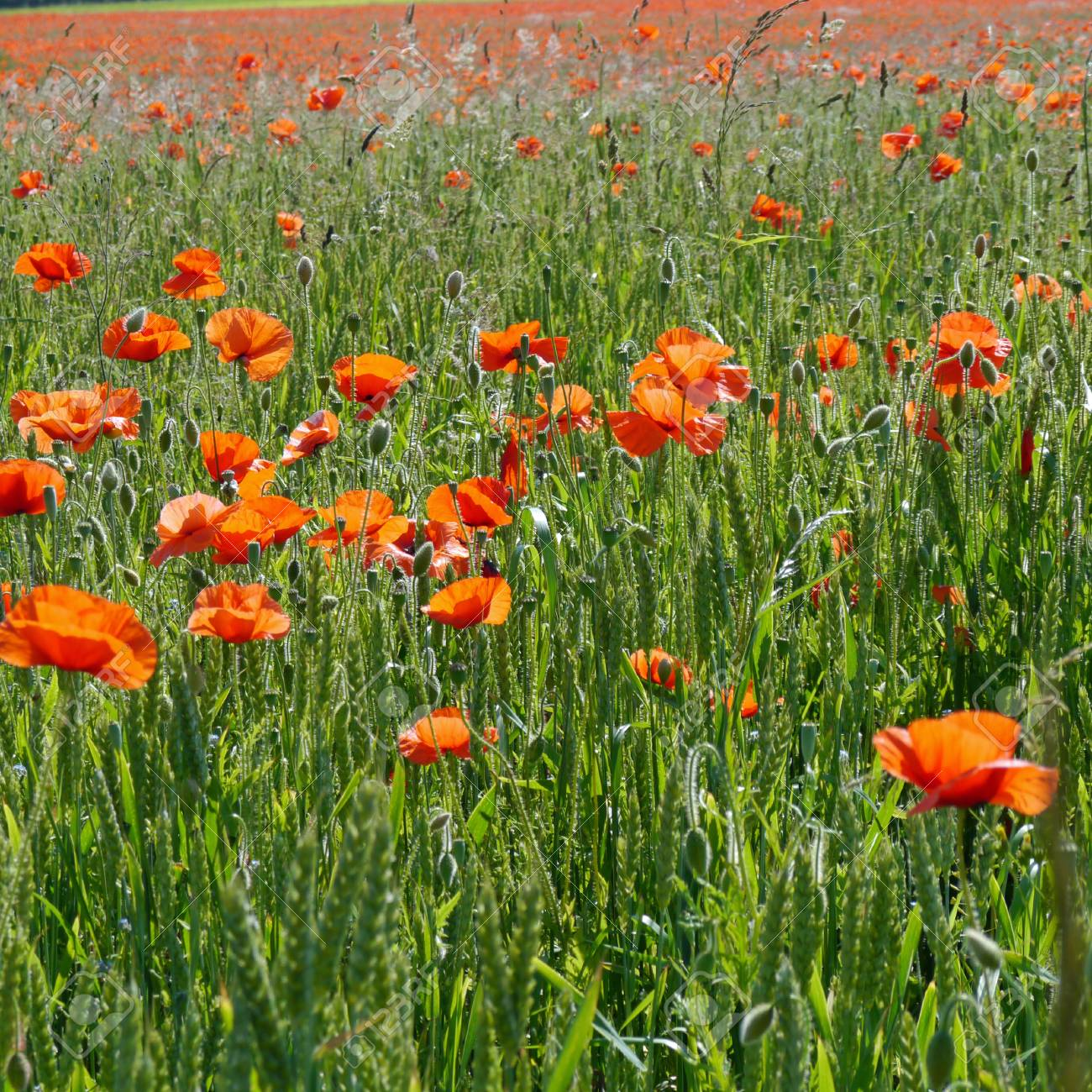 A meadow full of poppies and grasses in rural English countryside Standard-Bild - 81777947