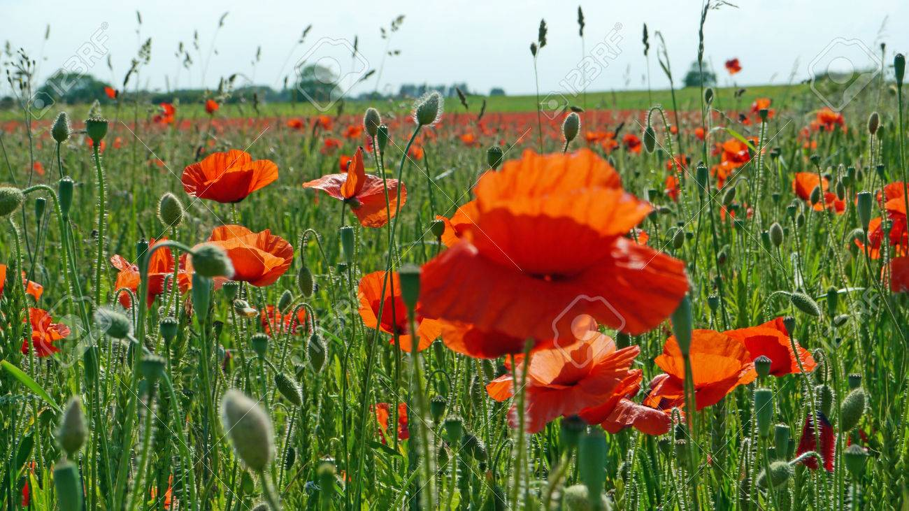 A meadow full of poppies and grasses in rural English countryside Standard-Bild - 82552568
