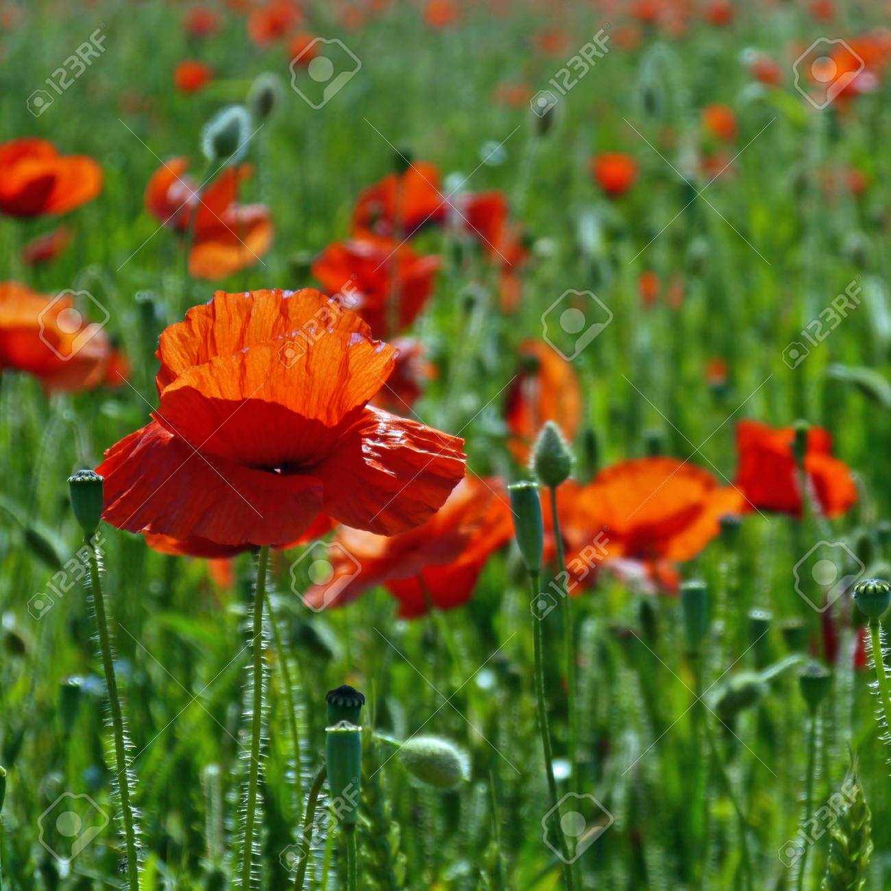 A meadow full of poppies and grasses in rural English countryside Standard-Bild - 81777949