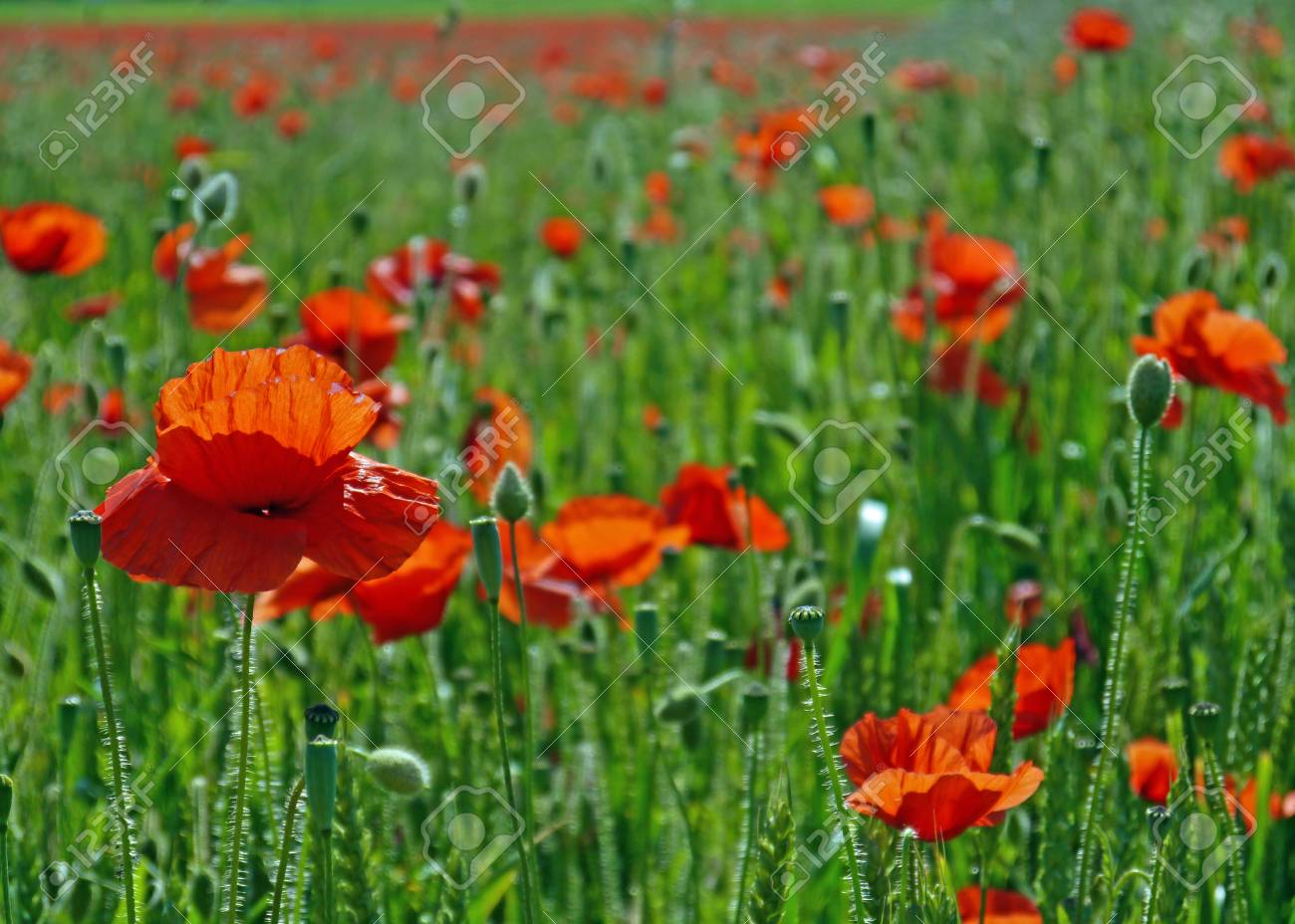 A meadow full of poppies and grasses in rural English countryside Standard-Bild - 81777948