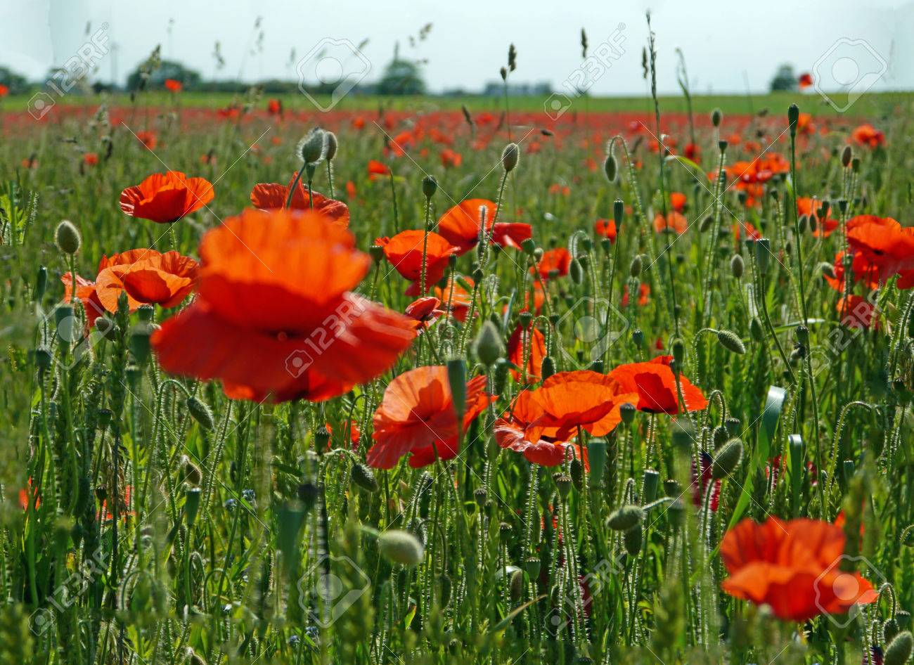 A meadow full of poppies and grasses in rural English countryside Standard-Bild - 81912962