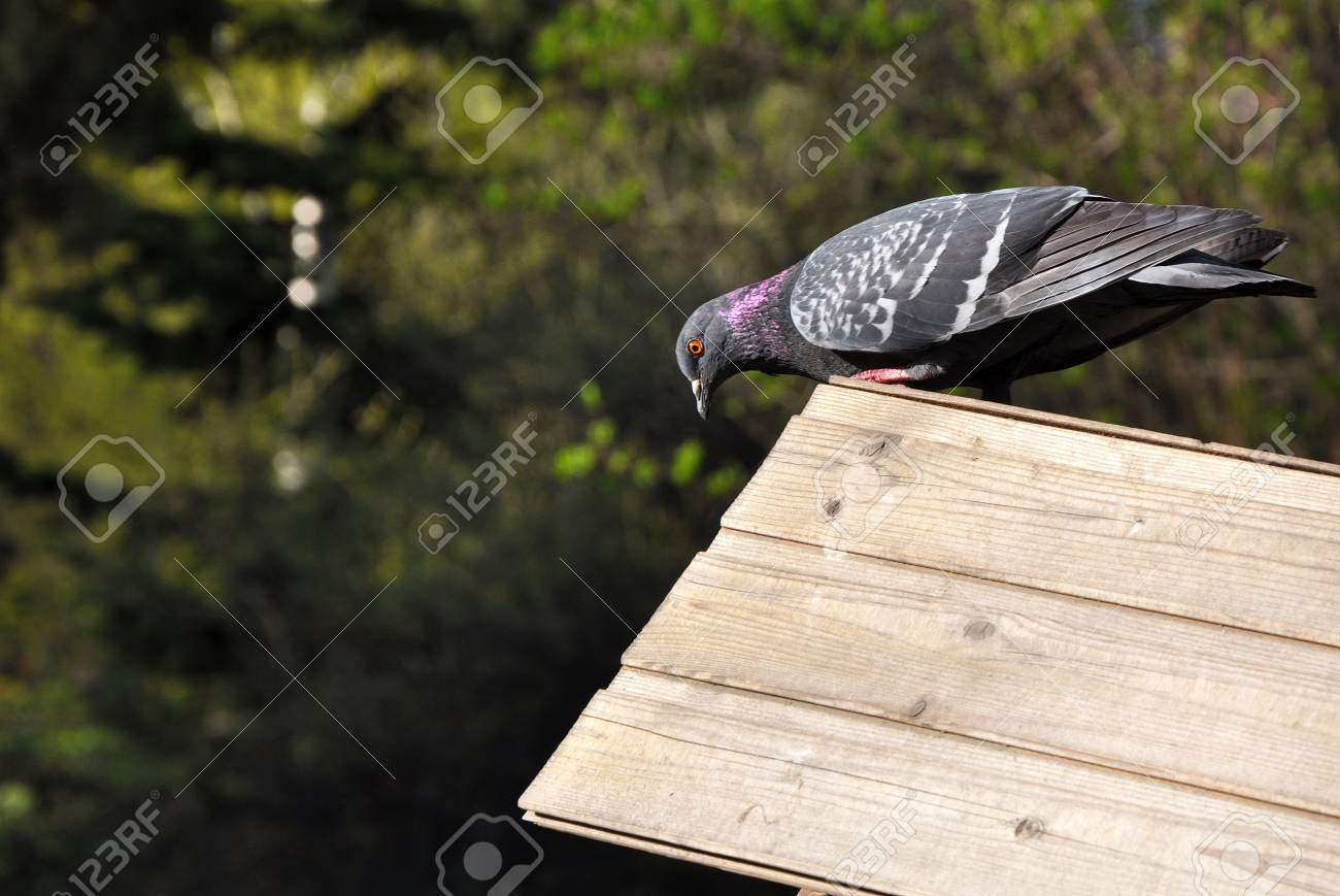 Pigeon Sitting On The Roof Of Wooden Bird Feeder In The Park