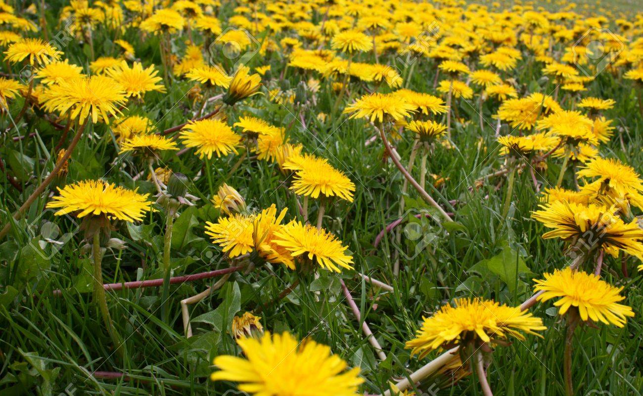 Many yellow wild flowers in a field stock photo picture and royalty many yellow wild flowers in a field stock photo 14575365 mightylinksfo
