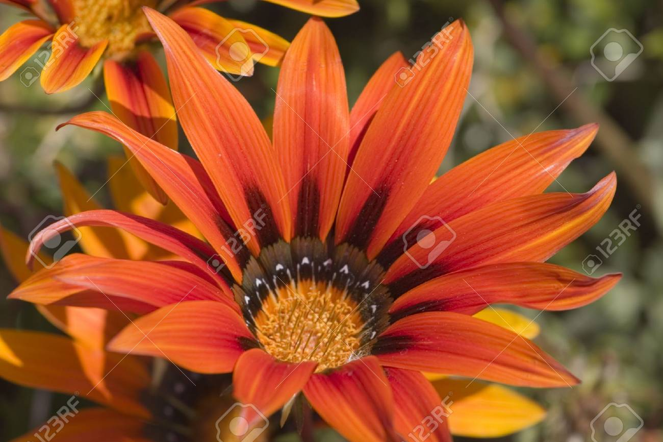 Orange daisy close up Stock Photo - 2766118