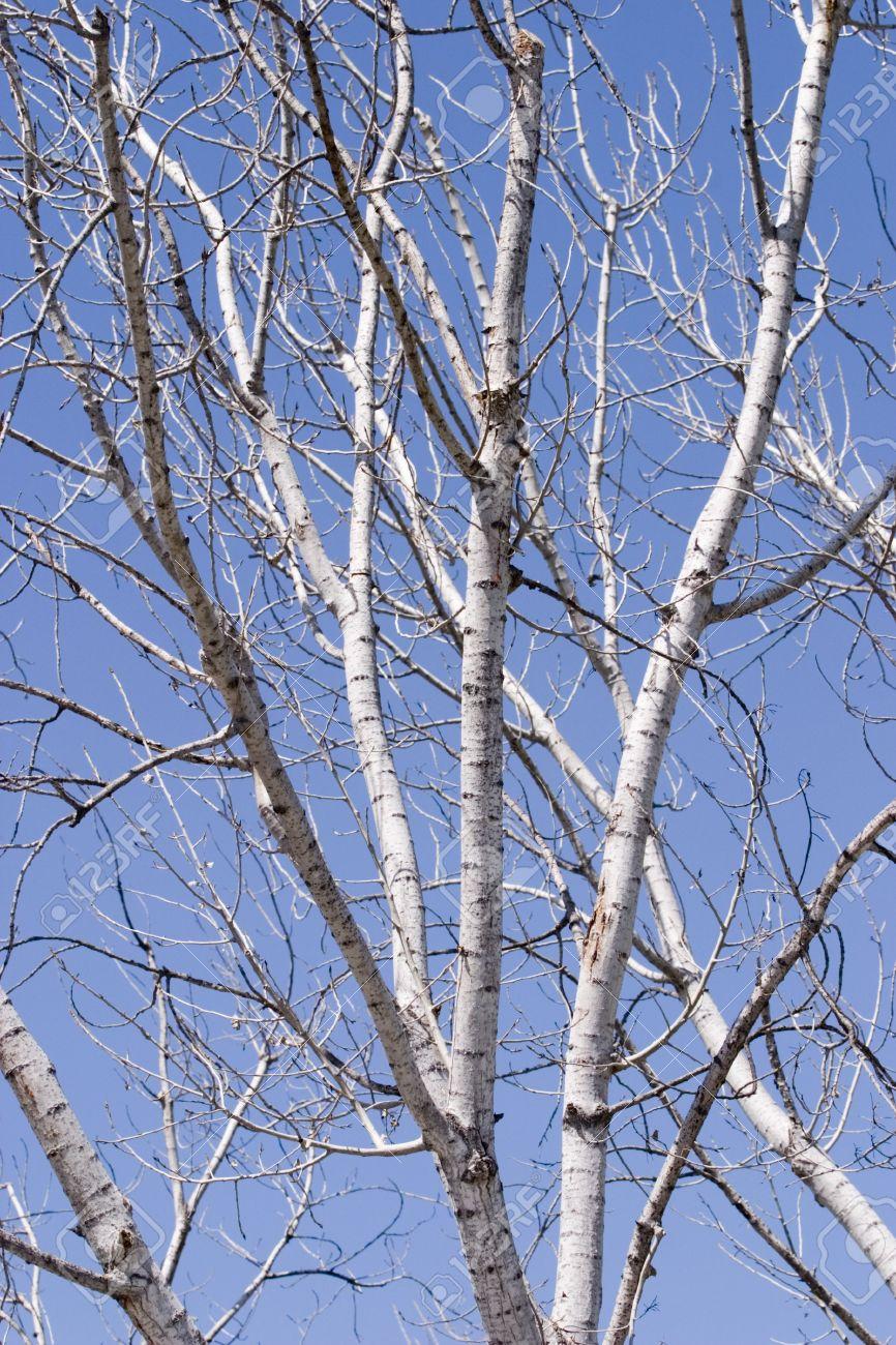barren birch tree branches Stock Photo - 2785563
