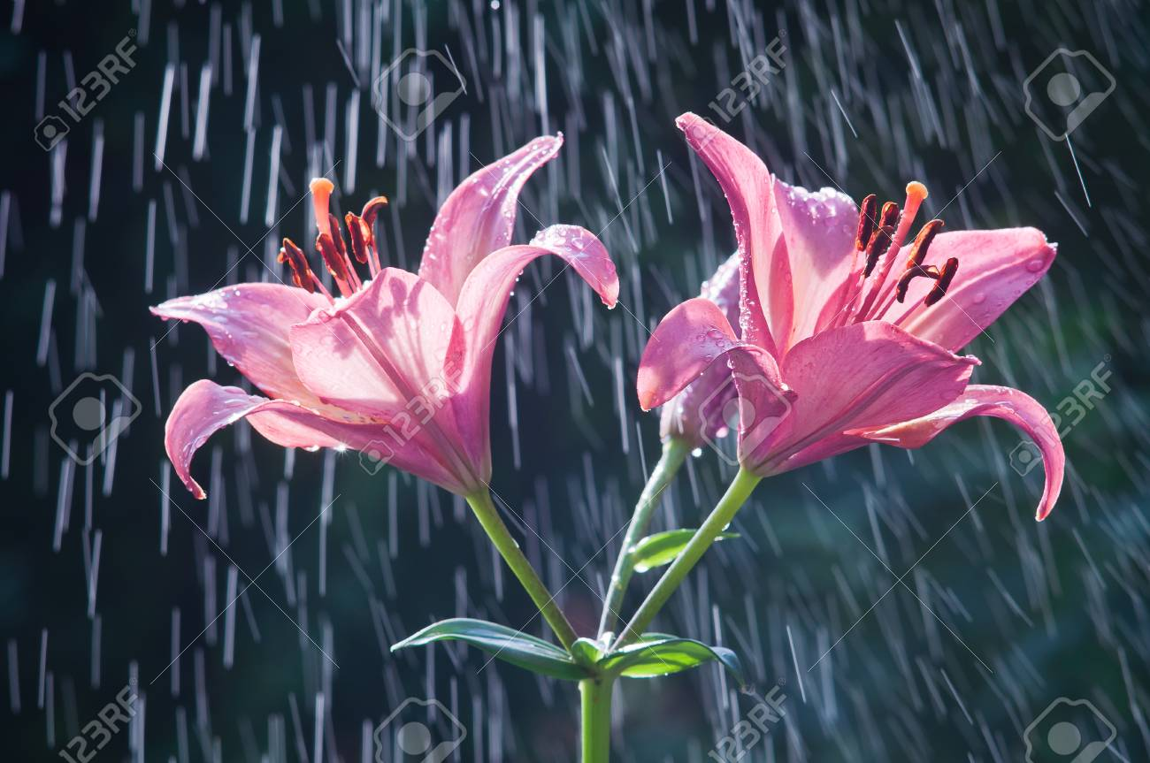 Flowers of purple lilies against the background of rain stock photo flowers of purple lilies against the background of rain stock photo 82168091 izmirmasajfo