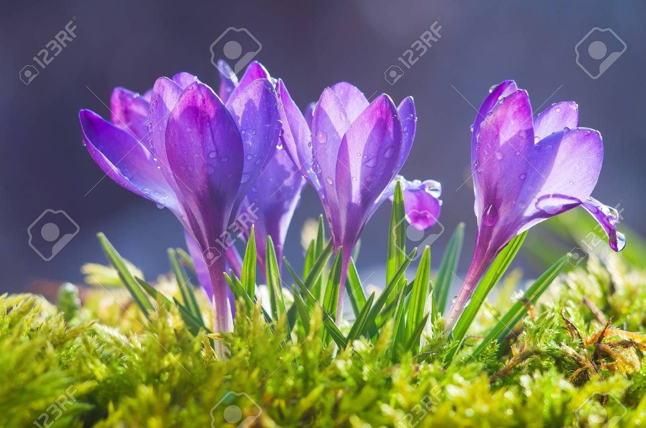 Flowers Of Blue Crocuses On A Sunny Spring Day Stock Photo Picture
