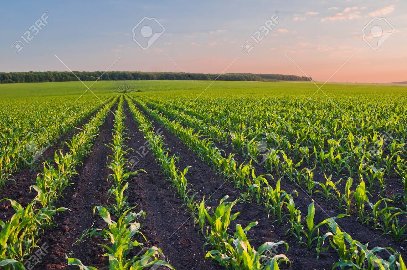 Image result for cornfield