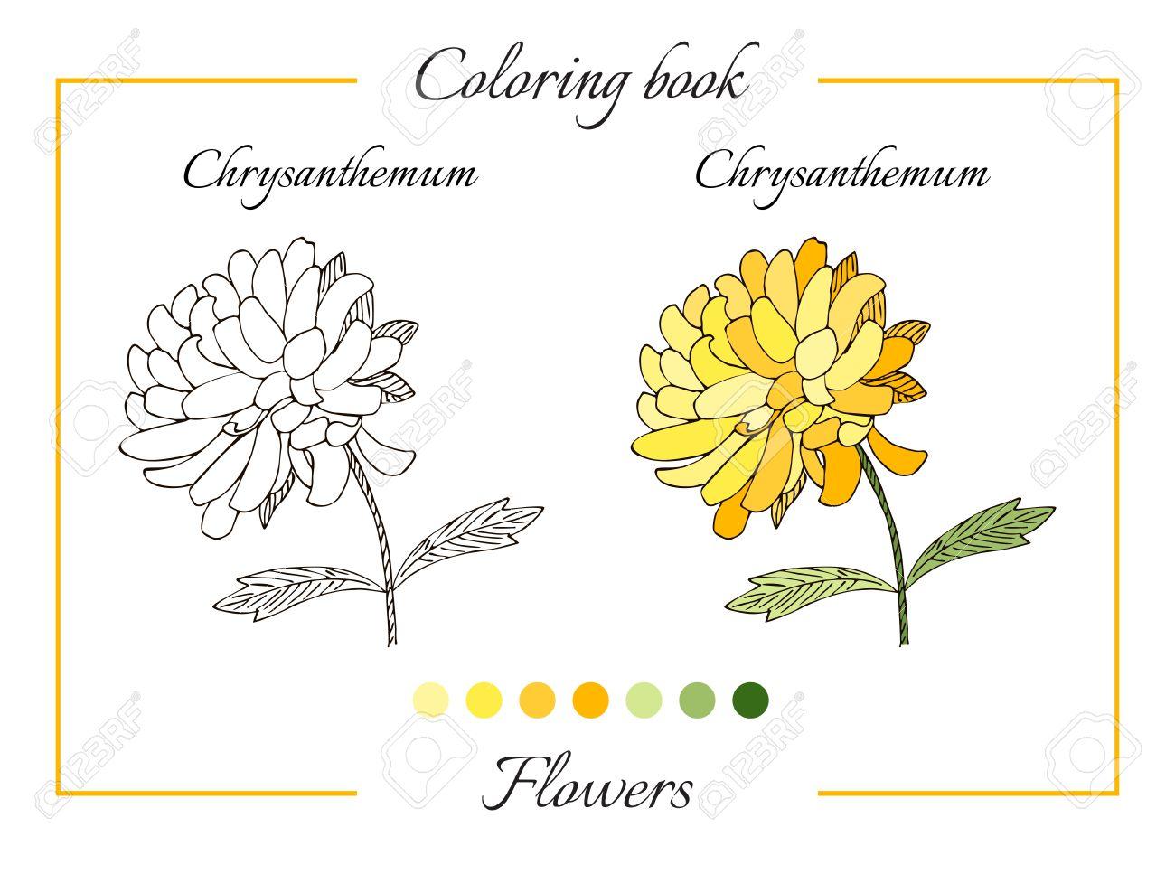 Libro Para Colorear Con Hermosa Flor De Crisantemo. Ilustración ...