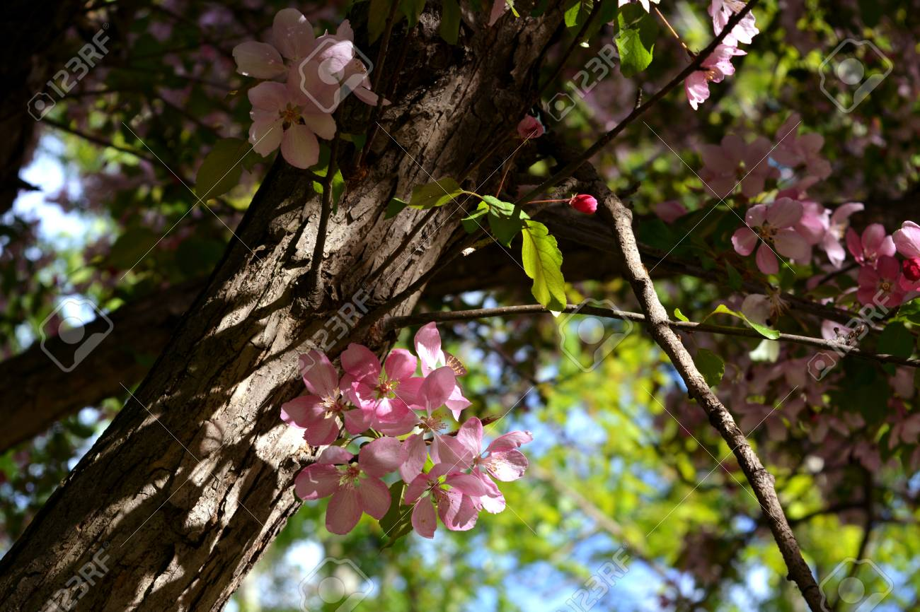 Blooming of decorative apple tree malus niedzwetzkyana branches blooming of decorative apple tree malus niedzwetzkyana branches and trunk with delicate pink flowers mightylinksfo
