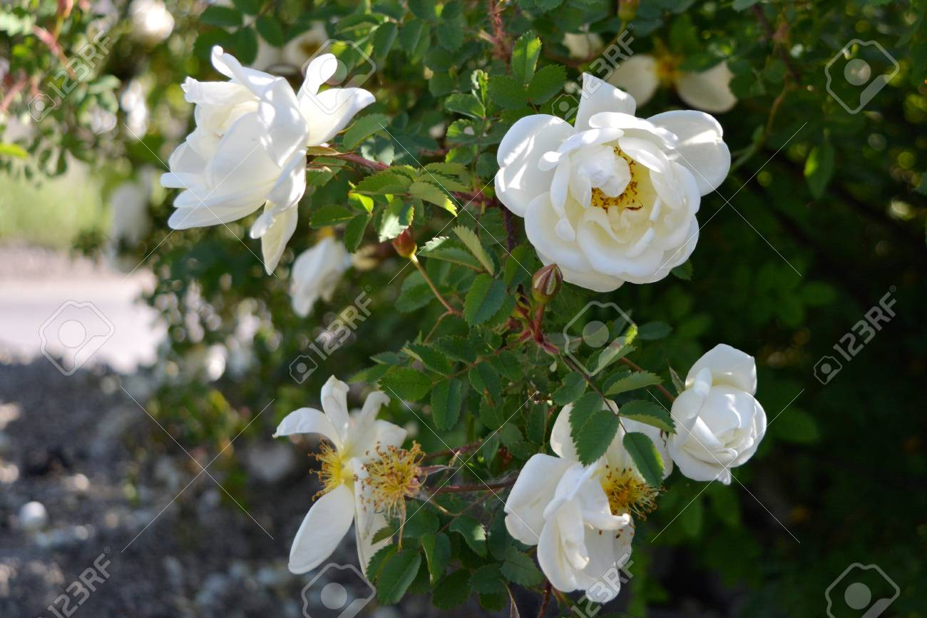 Blooming rose bush with white fragrant flowers city greening blooming rose bush with white fragrant flowers city greening in russia stock photo mightylinksfo