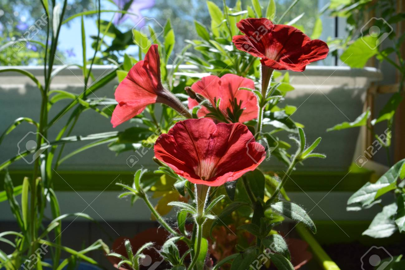 Red Petunia Flowers In Sunny Summer Day On The Balcony Small Stock Photo Picture And Royalty Free Image Image 111802012
