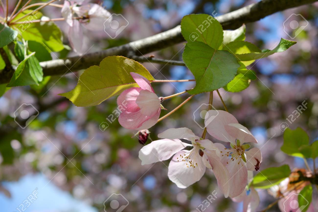 Twig Of Blooming Apple Tree With White And Pink Flowers And Buds