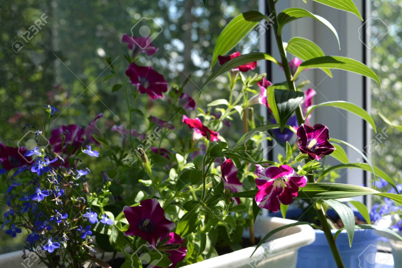 Small Sunny Garden On The Balcony With Flowering Petunia And Stock Photo Picture And Royalty Free Image Image 117203865
