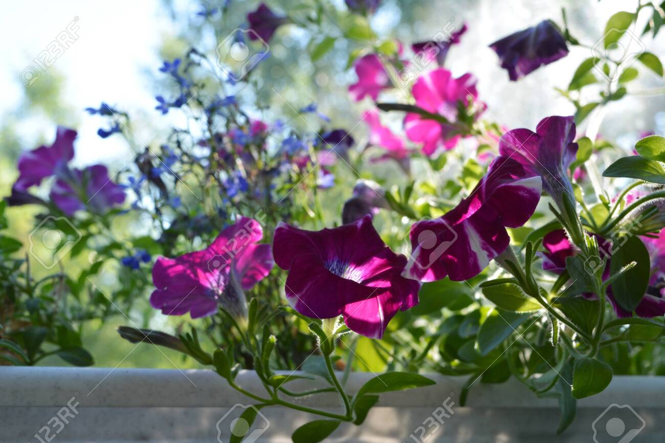 Beautiful Petunia Flowers In Sunny Summer Day Small Garden On Stock Photo Picture And Royalty Free Image Image 117203956