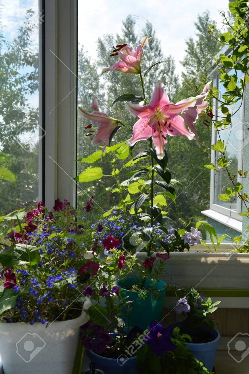 Perfect Garden On The Balcony With Beautiful Lily Flowers Blooming Stock Photo Picture And Royalty Free Image Image 122529845