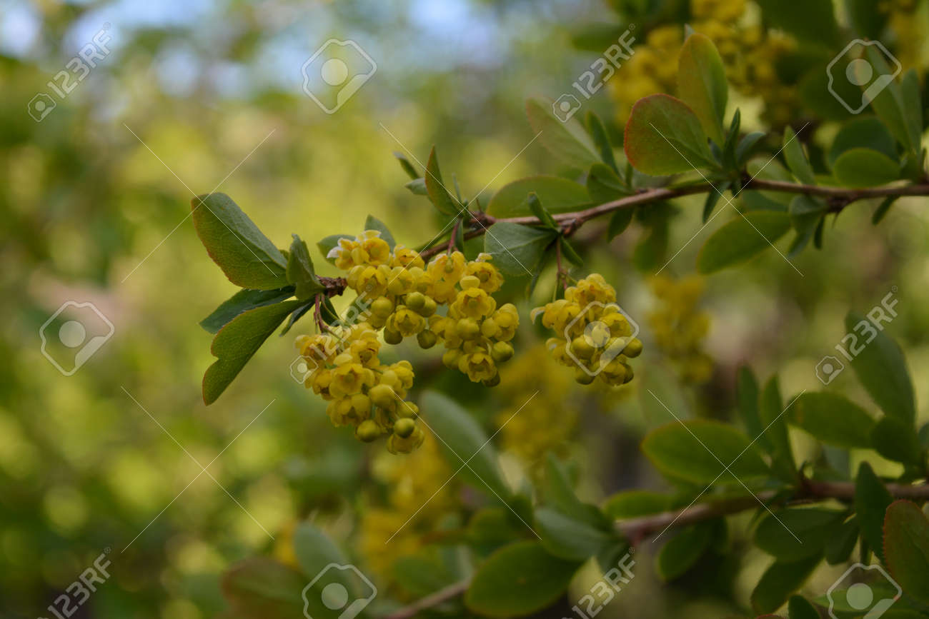 Branch with yellow flowers of barberry on blurred background. - 173407821