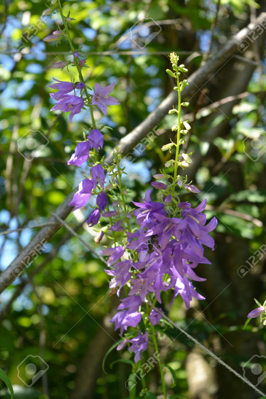 Bellflower with many small violet flowers. Summer garden - 173240497