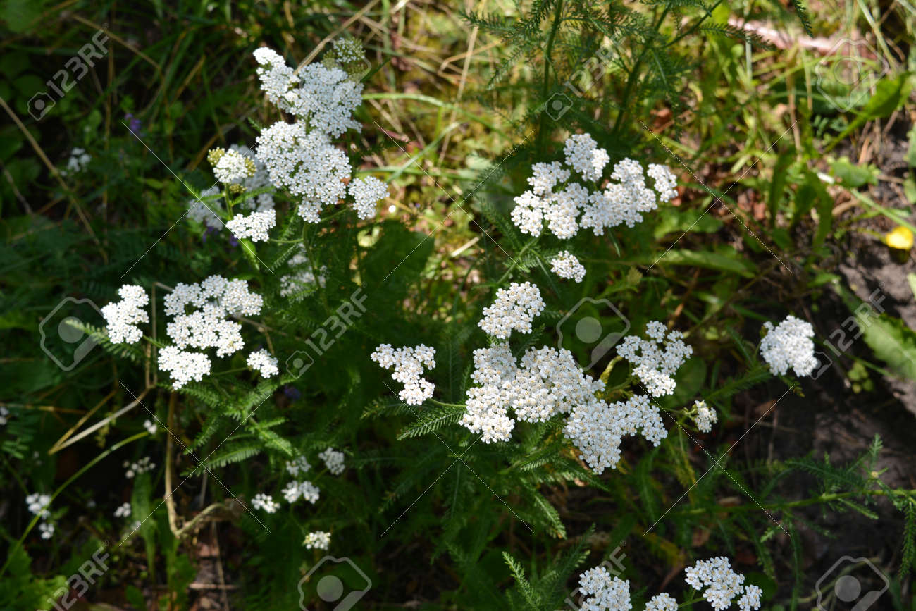 White flowers of yarrow on summer meadow. Top view - 173240513
