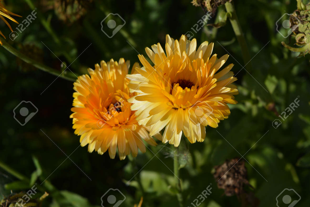 Top view on gold flowers of Calendula officinalis - 173271585