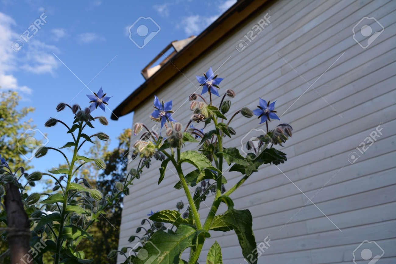 Borago officinalis. Blue flowers in the garden on the background of house. - 173271482