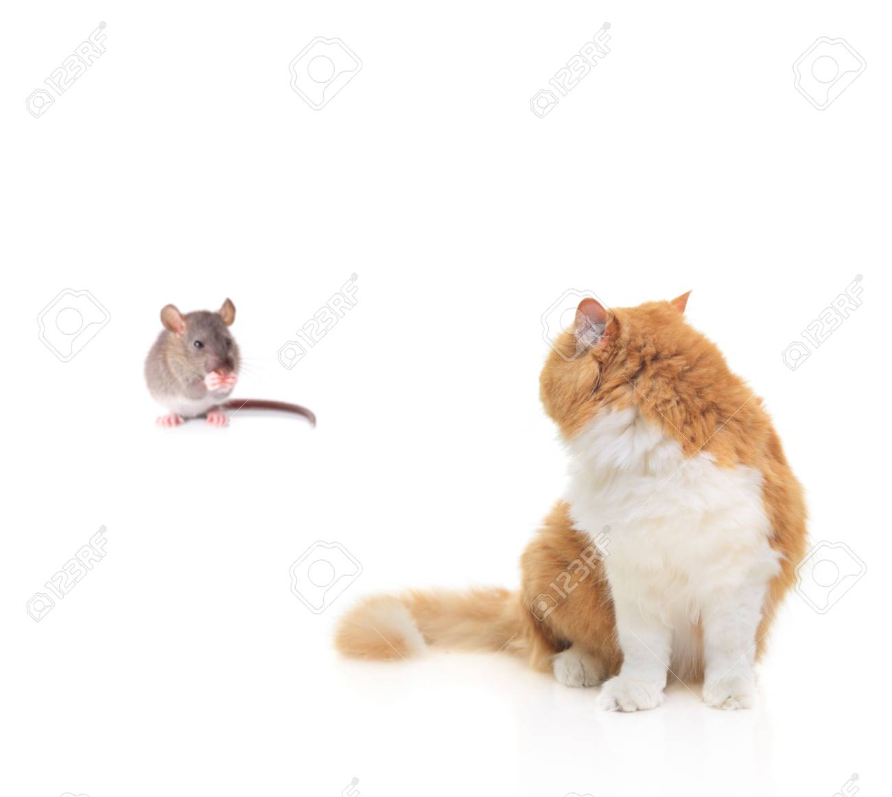 Cat watching a mouse isolated against white background Stock Photo - 3726889
