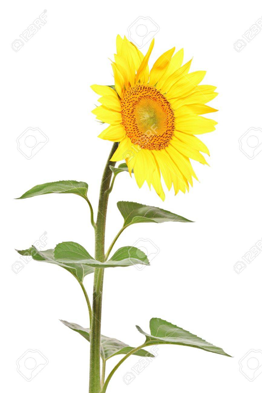 a view of a single sunflower against white background stock photo, Beautiful flower
