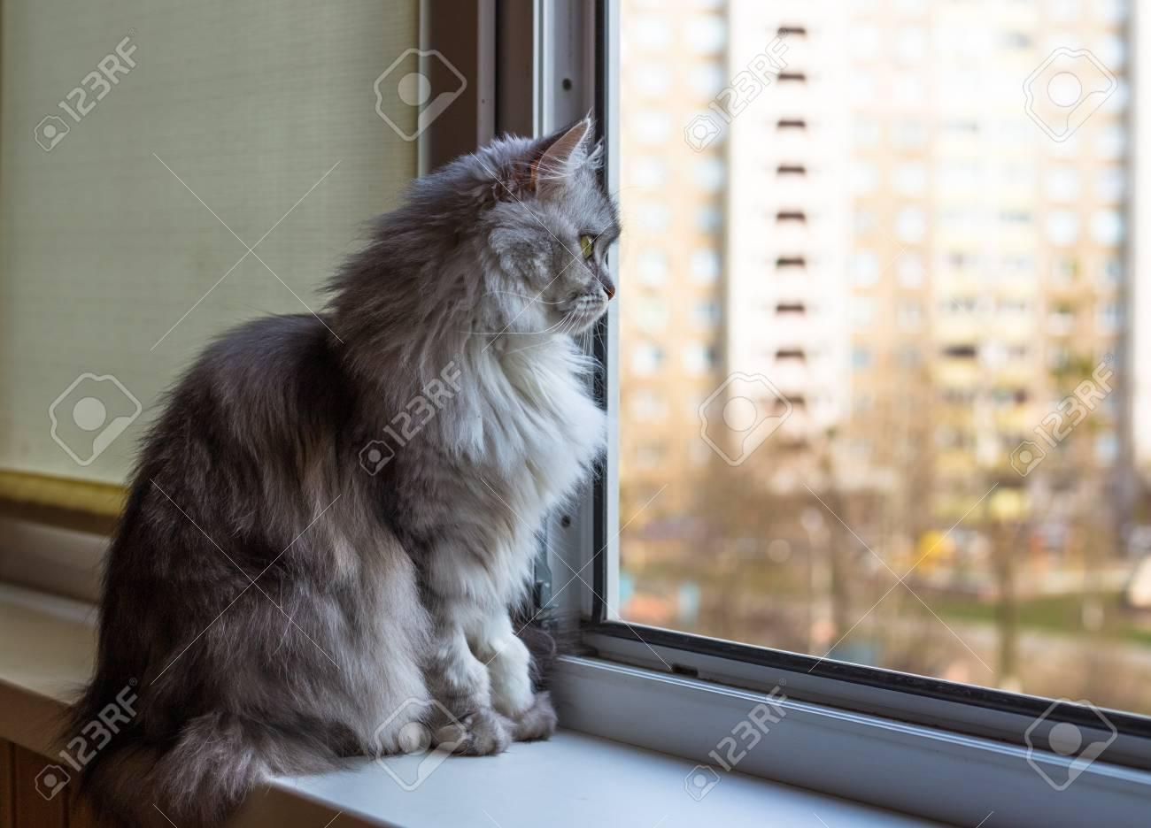 Schone Graue Katze Auf Der Fensterbank Sitzen Und Auf Der Suche Nach