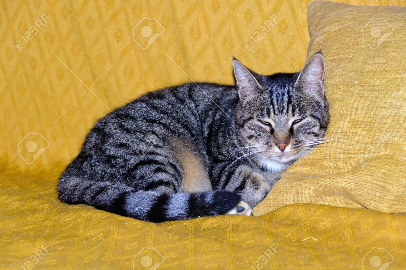 Black And White Striped Cat Enjoys A Little Afternoon Snooze Stock Photo Picture And Royalty Free Image Image 76648791