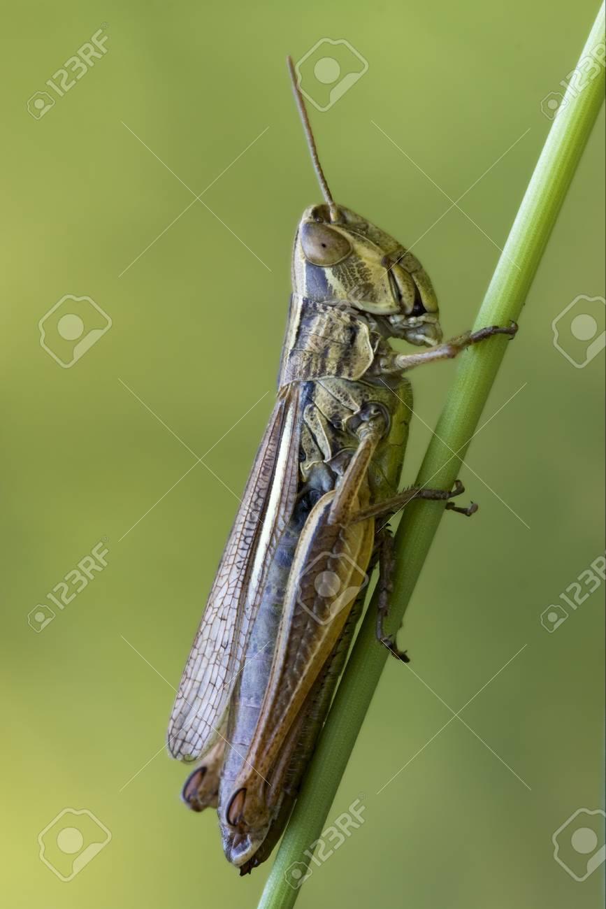 brown  grasshopper chorthippus brunneus in a green sprig Stock Photo - 17995425