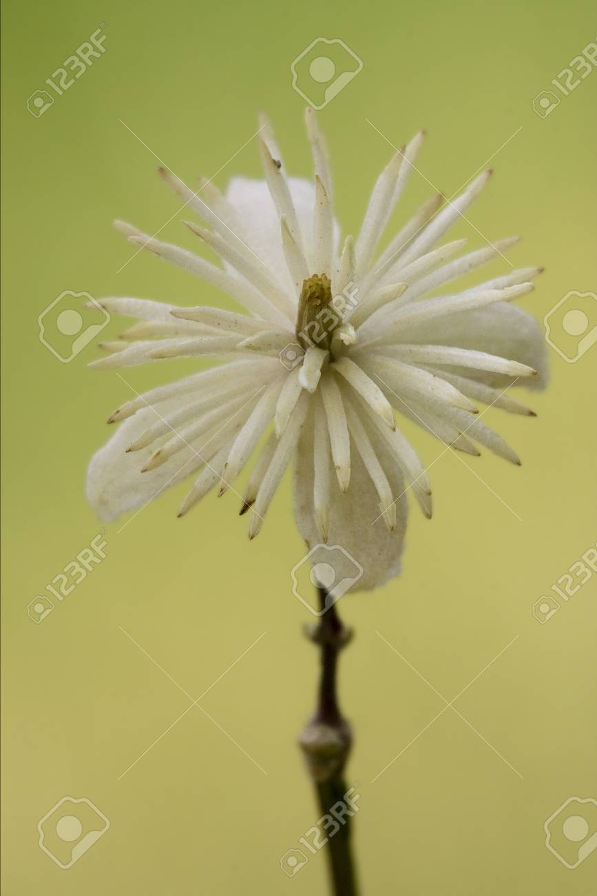 macro close of  a yellow white leguminose  in green background Stock Photo - 18293265