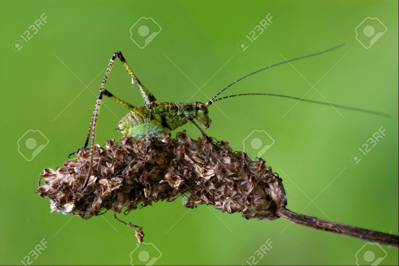 close up of grasshopper Orthopterous Tettigoniidae on a piece of branch in the bush and flower Stock Photo - 18668013