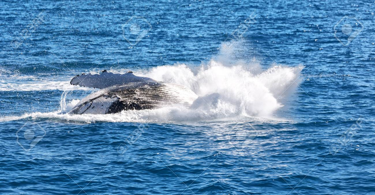 In australia a free whale in the ocean like concept of freedom stock in australia a free whale in the ocean like concept of freedom stock photo 96532524 voltagebd Gallery