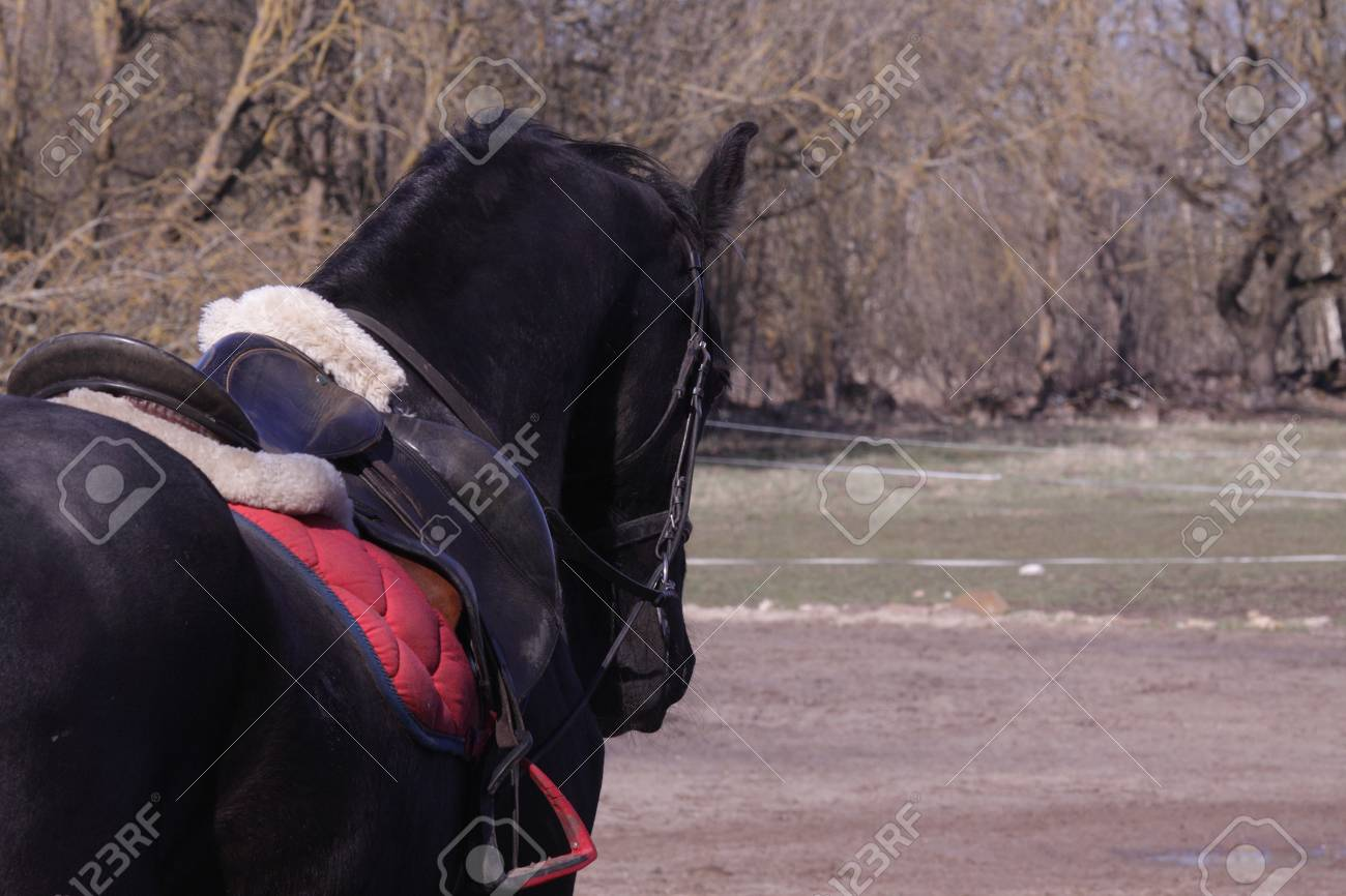 Black Horse With Saddle And Bridle Stock Photo Picture And Royalty Free Image Image 105838549